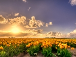 Yellow Tulip Flowers Field at Sunset