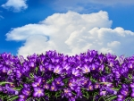 Purple Crocus Blue Sky