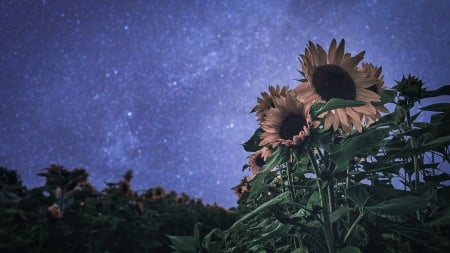 Simply Beautiful - stars, bokeh, sunflowers, beauty, nature, sky, night