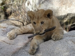 Baby Lions Cub