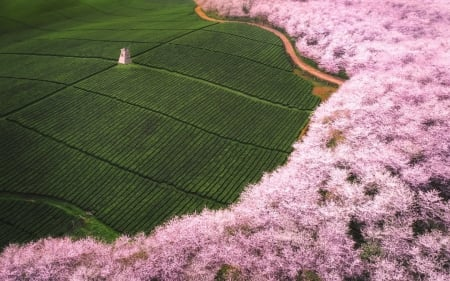 Landscape with windmill and cherry trees - sakura, view from the top, windmill, spring, peisaj, cherry tree, blossom, green, texture, pink, skin, landscape