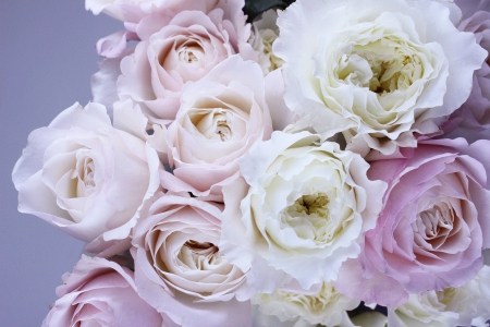 Wonderful blooms - pretty, lilac, soft, roses, gentle, flowers, nature, pastel, white
