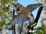 Waxwings on Cherry Tree
