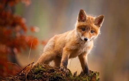 Red Fox Kit - Dogs & Animals Background Wallpapers on Desktop Nexus