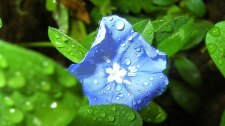 Blue Petaled Flower with Dewdrops - dewdrops, macro, flowers, nature, petals