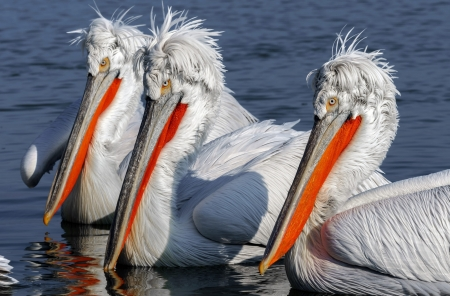Pelicans - water, vara, pelican, orange, pasare, trio, summer, white