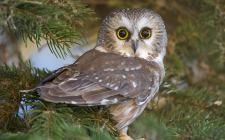 owl - owl, wildlife, birds, beautiful