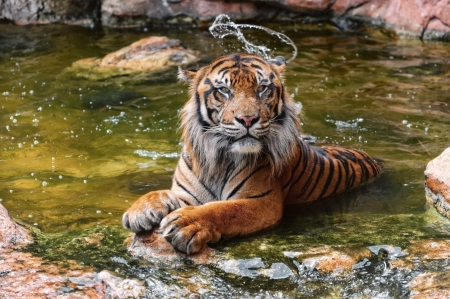 hello - wildlife, water, tiger, cats