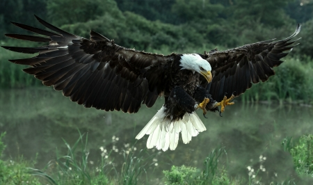 in flight - birds, eagle, beautiful, flying