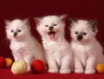 White Cute Kittens