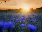Sunset Over the Cornflowers Field