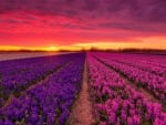 Flowers field at sunset
