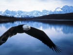 An Eagle From Alaska