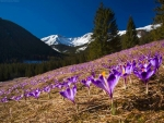 Crocuses in Tatry, Poland