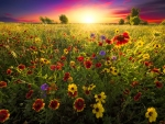 Wildflowers field at sunset