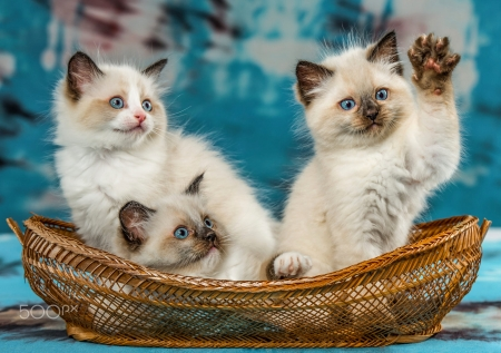 cute ragdoll kittens cats animals background wallpapers on