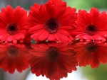 Reflection_Dahlias