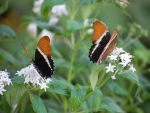 Brown Tip Butterflies