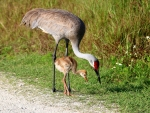 Cranes - Mother and Daughter