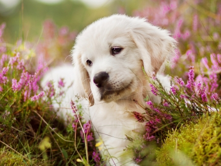 Comments On Golden Retriever Puppy Dogs Wallpaper Id