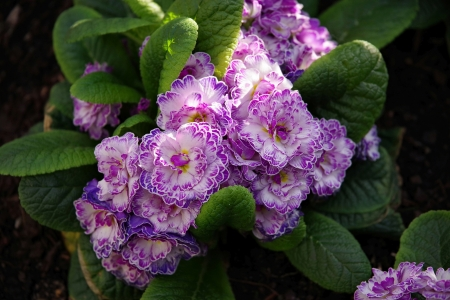 Blooming White Lilac Primrose - lilac, leaves, green, primrose, flowers, nature