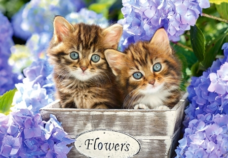 Kittens - cute, hydrangea, flower, cat, kitten, blue, pisica