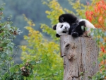 Sweet Little Panda