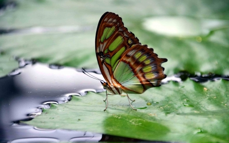 Butterfly on Leaf - nature, butterfly, leaf, animal