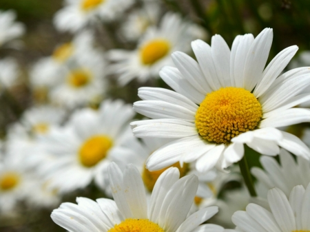 WHITE DAISIES - DAISY, PRETTY, WHITE, FLOWERS