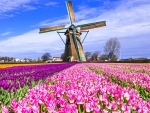 Multicolored Tulips Field