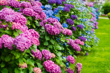 Hydrangeas in garden - colorful, hydrangea, flowers, garden, beautiful, spring