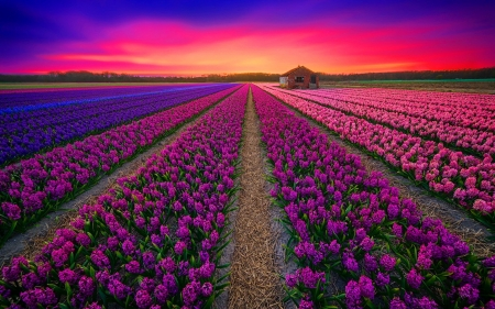 Field at sunset - hyacinth, colorful, pretty, spring, beautiful, sunset, sky, flowers, field