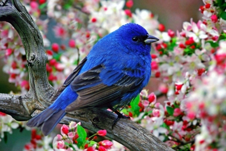 blue bird in the blossom - birds, spring, trees, photography, blossom, flowers, beauty, nature, blue