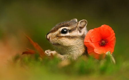 Chipmunk - chipmunk, red, poppy, mac, veverita, squireel, animal, cute, green, flower