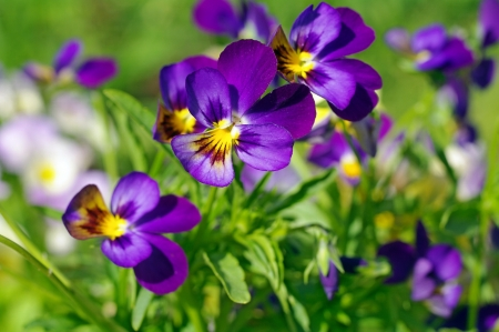 Pansies flowers nature background wallpapers on desktop nexus pansies viola tricolor flower pink pansy green spring purple mightylinksfo Choice Image