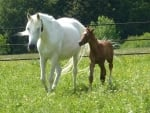 Horses - Mare and Colt