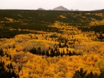 Aspen trees turn gold in autumn