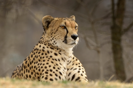 Cheetah - Cheetah, fauna, wild, animal