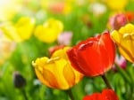 Spring Colored Tulips