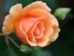 Stunning Orange Rose
