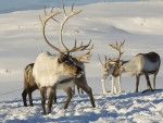 Reindeers in the snow