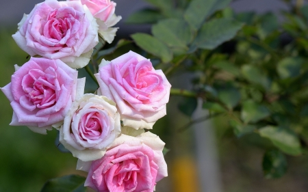 Lovely pink roses flowers nature background wallpapers on lovely pink roses mightylinksfo