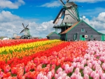 Colorful Dutch Tulips Field