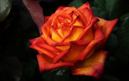 single orange rose flowers amp nature background