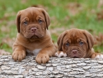Two Cute Puppies