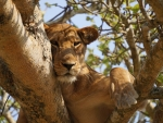 Lioness in Serengeti Reserve