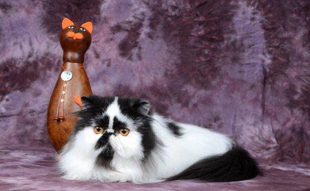 Black and White Persian Cat - persian, spotted, black, white, cat, animal