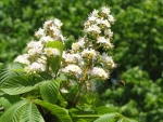Chestnut Blossoms and Bee