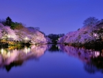 Body of Water with Sakura Trees