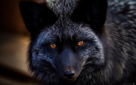 Black Fox Other Animals Background Wallpapers On Desktop Nexus Image 2372184